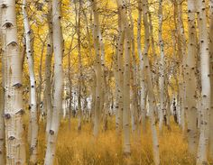 Aspens of the Eastern Sierras, Lundy Canyon, by Dagmar Collins.