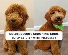 Since Goldendoodles are nonshedding you need to groom them. Goldendoodle grooming is a fun process that will save you money long-term. Read our guide! Goldendoodle Haircuts, F1b Mini Goldendoodle, Goldendoodle Grooming, Dog Grooming Tips, Dog Grooming Supplies, Poodle Grooming, Dog Grooming Business, Goldendoodles, Dog Haircuts