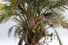 Resultado de imagem para cattleya amethystoglossa habitat