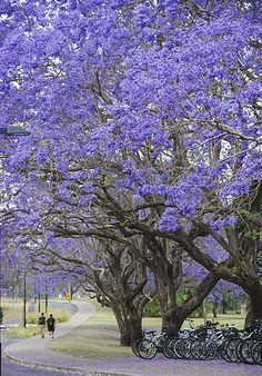 Ben Gould '14 and Dylan Corbett '14 walk to class under blooming Jacaranda trees at the University of Queensland in Brisbane.