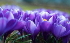 flores, crocus