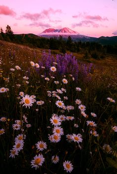 Photo by crazyaboutnature on fivehundredpx · · · Bloom! Not Boom! - Make love, not war? Dont blow your top? Well anyway, this is Mt St Helens and wildflowers :) Aesthetic Pastel Wallpaper, Aesthetic Backgrounds, Nature Wallpaper, Aesthetic Wallpapers, Purple Wallpaper Iphone, Nature Aesthetic, Flower Aesthetic, Aesthetic Drawing, Aesthetic Vintage