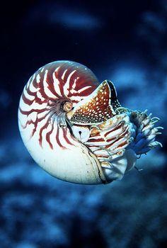 Nautilus macromphalus, céphalopode endemique de la Nouvelle-Calédonie - Photo : Pierre Larue