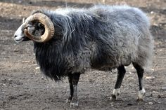 The Gute is the most primitive sheep breed native to Sweden. Thus, I can conclude that this wool was most likely worn in the Viking Age. If you are interested in spinning and weaving Viking Age cloth you probably want some of this wool.