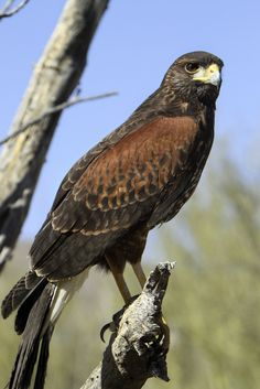 Harris Hawk (Parabuteo unicinctus) is a common sight in the southwest. It's also my favorite raptor!