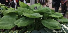 Grow Hostas that have a resistance to slugs and snails, here's Hosta 'Sum and Substance', a large, slug resistant Hosta, as seen here on the Gold Medal Winning Brookfield Plants display at RHS Chelsea Flower 2015.  For more ideas of slug resistant plants to grow, see my website www.pumpkinbeth.com