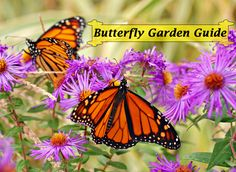 8 Top Gardening Tips that you can start using This Season to Attract and Support More Monarchs in your Butterfly Garden. This five-star customer rated butterfly garden guide can be downloaded immediately and viewed on most digital platforms including pc's, macs, ipads, android tablets, kindles, smartphones and more. Bring Home the Magic of Monarchs...