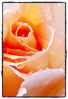Gouttes sur une rose