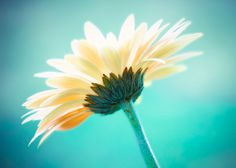 Striking daisy against a vibrant teal background