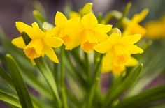 8 Scarily Poisonous Plants You Might Have in Your Garden Poisonous House Plants, Harmful Plants, Pansies, Daffodils, Amazing Gardens, Beautiful Gardens, Dog Friendly Garden, Deadly Plants, Daffodil Bulbs