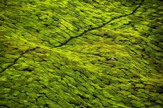 Tea fields in India - lush and verdant.