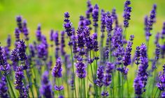 4 pet- friendly plants to repel fleas and ticks - catnip, chamomile, lavender, Rosemary