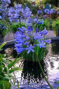 agapanthus peeking over, overlooking the water garden. Blue Garden, Dream Garden, Pond Plants, Garden Plants, Beautiful Gardens, Beautiful Flowers, Water Features In The Garden, Ponds Backyard, Backyard Waterfalls