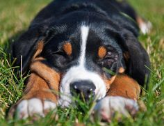 Glacier the Greater Swiss Mountain Dog - I NEED IT
