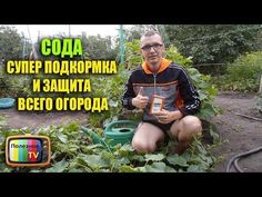СОДА СУПЕР ПОДКОРМКА И ЗАЩИТА ВСЕГО ОГОРОДА - YouTube