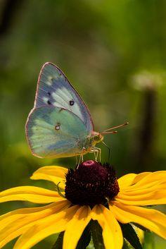 Orange Sulfur Butterfly   Flickr - Photo Sharing!