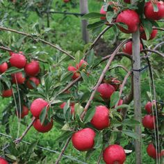 Apple 'Red Falstaff' - Apple Trees & Pear Trees - Thompson & Morgan