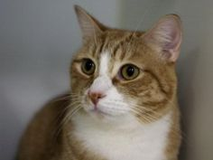 **TO BE DESTROYED 03/12/16** YOU GOTTA BE JOKING! Super KATA is a neutered 2-year-old boy who had lived with his previous family since he was a kitten. He has been surrendered to the shelter for