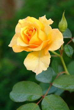 One perfect yellow rose, so beautiful.