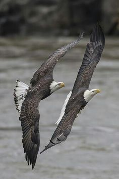 Eagles in harmony