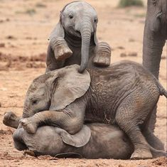 Elefante (Tomás,Roberta e Diego) - Three elephants babies playing together beside their mother's. Photo Elephant, Elephant Images, Elephant Love, Elephant Art, Elephant Gifts, Funny Elephant, Indian Elephant, Elephant Tattoos, Elephants Photos