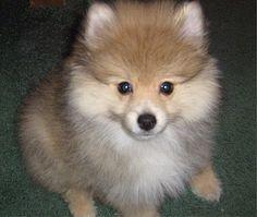 http://puppydogweb.com/gallery/pomeranians/e.htm