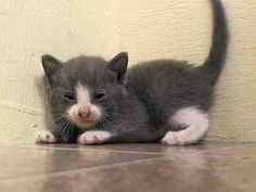 TO BE DESTROYED 7/18/14 ** BABY ALERT! ONLY 4 WEEKS OLD! 6 kittens came together A1006498, 499, 500, 501, 502, 503 came with nursing queen A1006495 (MARLENE) ** Manhattan Center  My name is MARV. My Animal ID # is A1006500. I am a male gray tabby and white domestic sh mix. The shelter thinks I am about 4 WEEKS old.  I came in the shelter as a STRAY on 07/13/2014 from NY 10451. I came in with Group/Litter #K14-185700.