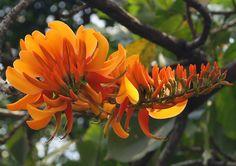 erylhrina poeppigiana - Google-Suche