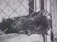 pencil drawing of Miracle Chicken Pencil Drawings, Owl, Eggs, Bird, Chicken, Animals, Animales, Animaux, Owls