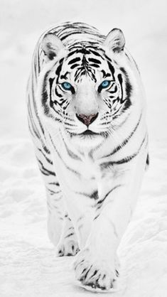 Animals Discover White Tiger wallpaper for mobile Tiger Wallpaper Animal Wallpaper Tigre Animal Animals Beautiful Cute Animals Animals Amazing White Bengal Tiger Tiger Pictures Pet Tiger Tiger Wallpaper Iphone, Animal Wallpaper, Iphone Wallpapers, Tigre Animal, Tiger Fotografie, Tiger Photography, Wildlife Photography, Portrait Photography, White Bengal Tiger