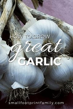How To Urban Garden How to Grow Great Garlic - Fall is the time to plant garlic. Garlic is easy to plant and care for, and it takes up very little space in the garden. Here's how to grow garlic.