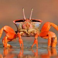 ✯ Crab