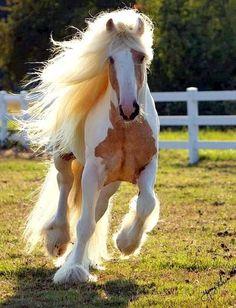 Gypsy Vanner Horses for Sale Appaloosa, Palomino, Most Beautiful Horses, All The Pretty Horses, Beautiful Beautiful, Horse Pictures, Animal Pictures, Beautiful Creatures, Animals Beautiful