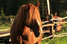Suomenhevonen Animals And Pets, Pony, Childhood, Horses, Cute, Pictures, Beauty, Pets, Pony Horse