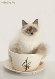 Pictures of Birman Cat Breed,we just found one of these cats. Someone keeps dropping off cats they don't want.