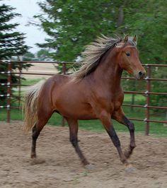 buckskin paint horses for sale Morgan Horse, All The Pretty Horses, Beautiful Horses, Paint Horses For Sale, Silver Bay, Bay Horse, Horse Pictures, Horse Photos, Horse Love