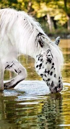 Gorgeous spotted horse taking a drink out of the creek.