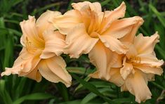 Double Daylily, Hemerocallis 'Scatterbrain' (Joiner, 1988)