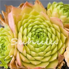 100 Pcs Amazing Sempervivum Plants Mixed Mini Garden Succulents Cactus Seeds Perennial -House Leeks Live Forever Easy To Grow
