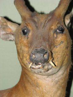 Bad Taxidermy Photos Are The Potato Jesus Painting Of The Animal World Funny Taxidermy, Funny Cute, Hilarious, Funny Pix, Water Deer, Jesus Painting, Wild Boar, Majestic Animals, Oh Deer