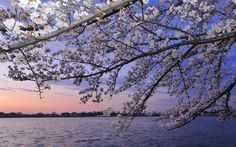 pictures;100 year old Japanese cherry trees blossom in washington DC