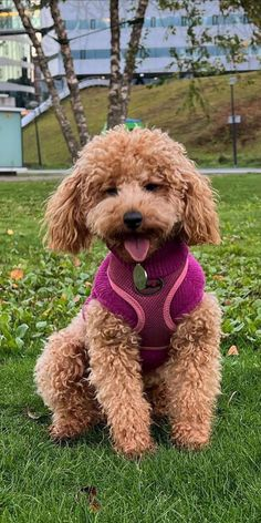 Poodles are considered to be the best breeds to own as there are extremely sensitive and much attached. Poodle puppies are one of the cutest and eye-catching puppies ever. #poodlepuppy #poodlepuppytraining #poodlepuppies #cutepoodlepuppies #dogsandpuppiespoodle #dogsandpuppies #cutedogs Poodle Mix Puppies, Dogs And Puppies, Poodles, Cute Dogs, Teddy Bear, Eye, Animals, Animales, Standard Poodles