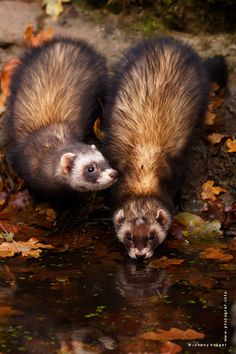 Ferrets in the wild. <3  ~by Johnny Krüger My previous one Lil' Bob was exactly like this. He was BADASS, drank BEER ONLY!!! Hahaha \µ/—>X)
