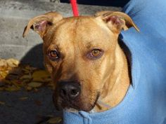 TO BE DESTROYED 11/26/13  Manhattan Center -P  SERGEANT  #A0985213  Male brown pit mix1 YR 6 MTHS  STRAY 11/17/13. Walks well on leash, likely house trained. Quite hungry,but takes treats gently. Sits on command, comes when called & affectionate.Seems happy amidst a crowd of people. Some food guarding-common w/ strays, retrainable! Sergeant: friendly, affectionate and sociable young man who will make a loving companion. He's had a rough start in life. Can you help him find that loving home?