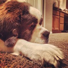 Big Bernie the St. Bernard is guarding my room while I edit my new video featuring @Dre Drexler coming out tomorrow! Thanks for the security Big Bernie! #iamdavidvo #dog #stbernard #funny #love #life...