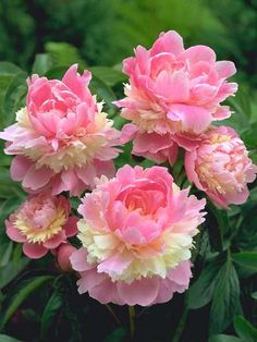 Paeonia (Peony) 'Sorbet' Multi-layers of large iced-pink petals and smaller cream petals,with a yellow center. 2-3 eyes.