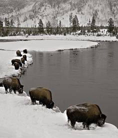bison in Yellowstone National Park in the winter