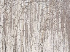 Glade of White Birch Trees in Daisetsuzan National Park Photographic Print by Michael S. Yamashita at AllPosters.com