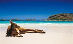 Kangaroo Lucky Bay Esperance