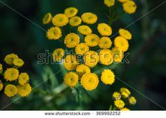Tansy, Tanacetum vulgare. Tansy herb applicable in folk medicine, fights worms in the body, a natural insect repellent.